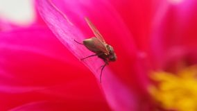 在桃红色软的花里面的小flie 库存照片