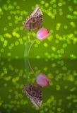 在桃红色郁金香的蝴蝶 库存图片