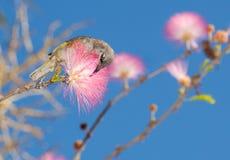 在桃红色金合欢树的黄色蜂蜜食者 免版税库存照片