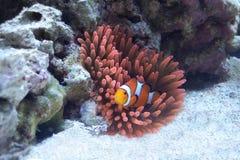 在桃红色银莲花属的橙色Clownfish 免版税库存图片
