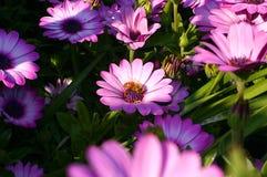 在桃红色雏菊花花束的特写镜头  免版税图库摄影