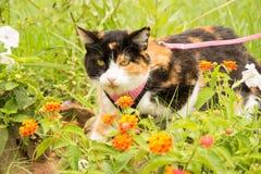 在桃红色鞔具和皮带的杂色猫 免版税库存照片