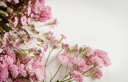 在桃红色颜色小的玫瑰和肥皂草属之植物在白色背景 库存图片