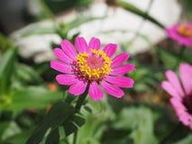在桃红色颜色的美丽的花 免版税图库摄影