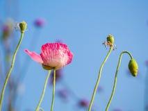 在桃红色鸦片头状花序的选择聚焦 库存照片