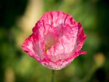 在桃红色鸦片头状花序的选择聚焦 免版税库存照片