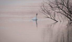 在桃红色水的天鹅 免版税库存照片