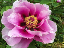 在桃红色紫罗兰的巨型牡丹 库存图片