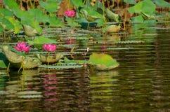 在桃红色紫色荷花百合星莲属的男女Jacana在kakadu国家公园达尔文澳洲 免版税图库摄影