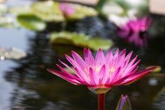 在桃红色紫色紫罗兰色颜色的莲花与绿色在自然水池离开 轻的天体 库存照片