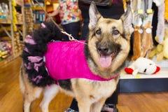 在桃红色&黑芭蕾舞女演员服装的狗 免版税图库摄影