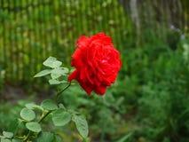在桃红色colorA关闭的九重葛纸花一朵红色玫瑰的宏观射击 免版税库存图片