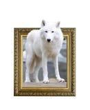 在框架的北极狼与3d作用 库存图片