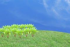 在框架的左边的许多无刺指甲花树在草地的 免版税库存照片