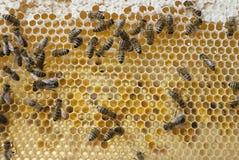 在框架的蜂。 免版税库存图片