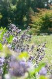在框架的角落的熏衣草属共同的名字淡紫色 库存图片