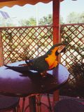 在桌上的一只鹦鹉 免版税图库摄影