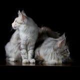 在桌上的两只猫 免版税库存图片
