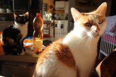 在桌上的两只猫 免版税库存照片