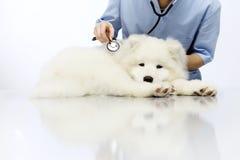 在桌上的兽医审查的狗在狩医诊所 库存图片