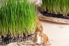 在桌上的土壤增长的新wheatgrass 免版税库存照片