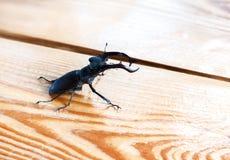 在桌上的大雄鹿甲虫 库存照片
