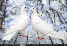 在桌上的夫妇鸽子 图库摄影