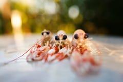 在桌上的新鲜的海螯虾 库存图片
