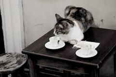 在桌上的猫-咖啡猫 免版税库存图片