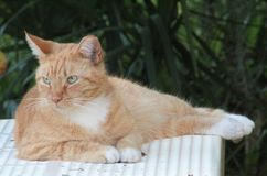 在桌上的猫 免版税库存图片