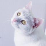 在桌上的白色猫睡眠 图库摄影