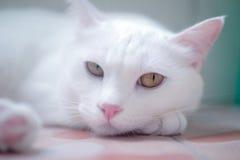 在桌上的白色猫睡眠 库存图片