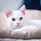 在桌上的白色猫睡眠 免版税库存照片