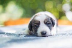 在桌上的逗人喜爱的小狗 库存图片