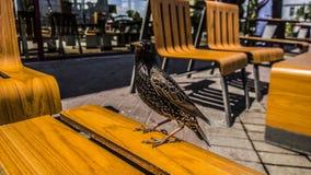 在桌上的鸟在餐馆的夏天大阳台 免版税图库摄影