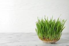在桌反对白色,文本的空间上的发芽的麦子草种子 免版税库存照片