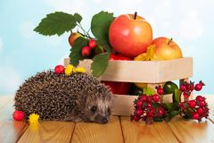 在桌多刺的猬和果子在箱子,在浅兰 免版税库存照片