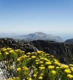 在桌山上面的黄色花在开普敦,南非 库存照片
