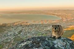在桌山南非的Dassie 库存照片