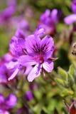 在桌山的花 免版税库存照片