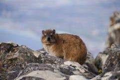 在桌山,开普敦的岩石dassiev 免版税库存图片