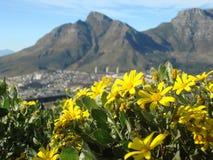 在桌山,开普敦,南非的黄色花 免版税库存图片