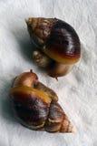 在桌布的两只蜗牛Akhtina 免版税库存照片