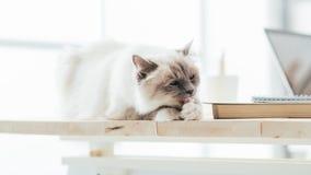 在桌面上的可爱的猫 库存图片