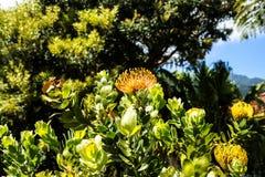 在桑塔纳的花在马德拉岛是北海岸的一个美丽的村庄由它的小盖的三角房子知道 库存图片