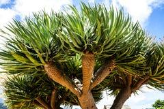 在桑塔纳的龙血树在马德拉岛是北海岸的一个美丽的村庄由它的小盖的三角房子知道 免版税图库摄影