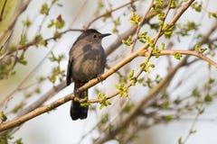 在桑树的灰色猫声鸟 免版税库存图片