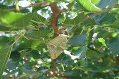 在桑树leafage的蝴蝶Argynnis潘多拉  免版税库存图片