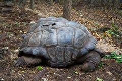在桑给巴尔小岛的乌龟  免版税图库摄影