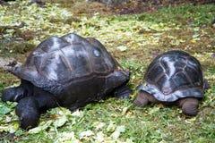 在桑给巴尔小岛的乌龟  库存图片